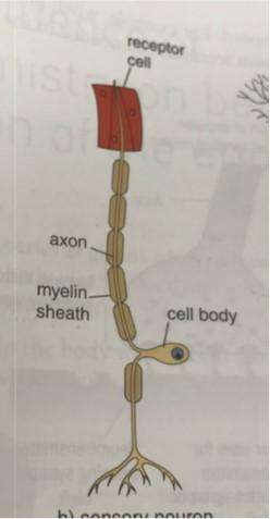 Neurons, Neurotransmitters & Synaptic Transmission - Mrs ...